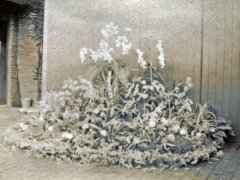 32b-2nd-Prize-Group-of-Flowers-Battle-Flower-Show-1904Comp.jpg